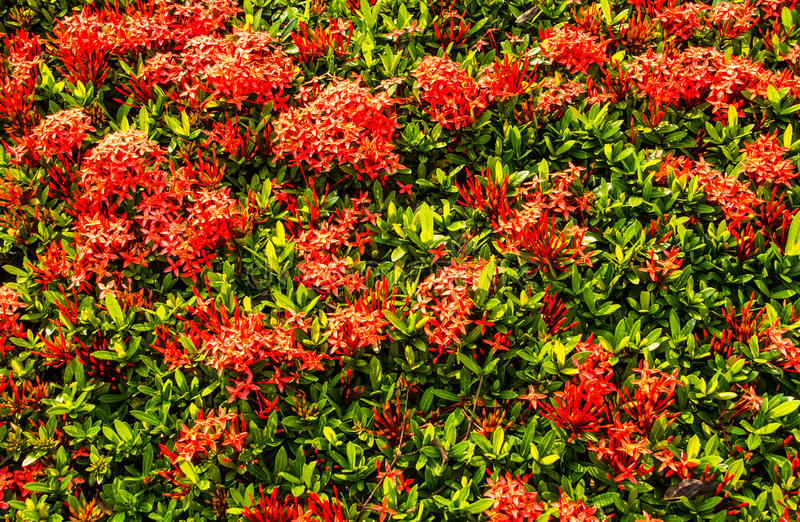 Download Red ixora stock photo. Image of flower, blossom, garden - 39511192