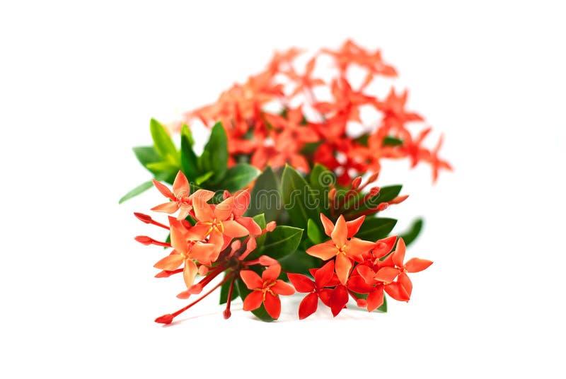 Ixora flower or spike flower isolated on white background stock image