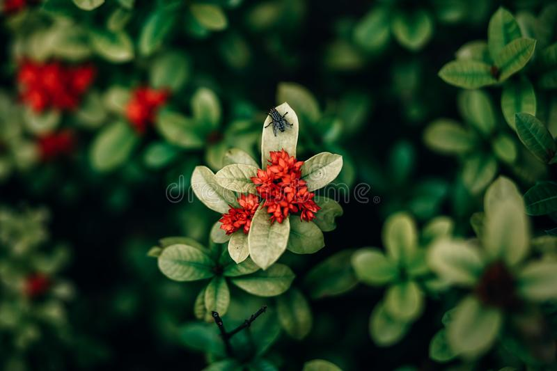 Red Ixora Flowers Closeup Photo royaltyfri foto