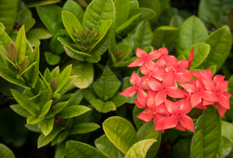 Red Ixora with green leaf background. Red Ixora with green leaf background stock image