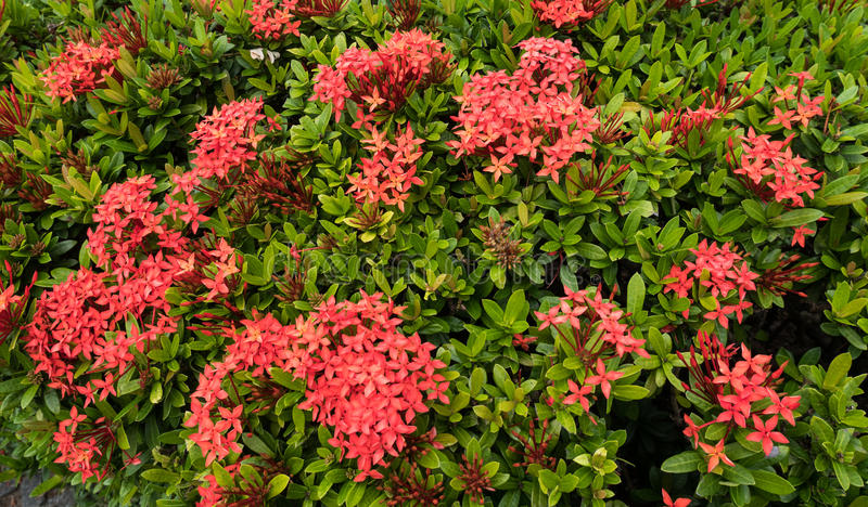 Red Ixora with green leaf background. Red Ixora with green leaf background royalty free stock photography