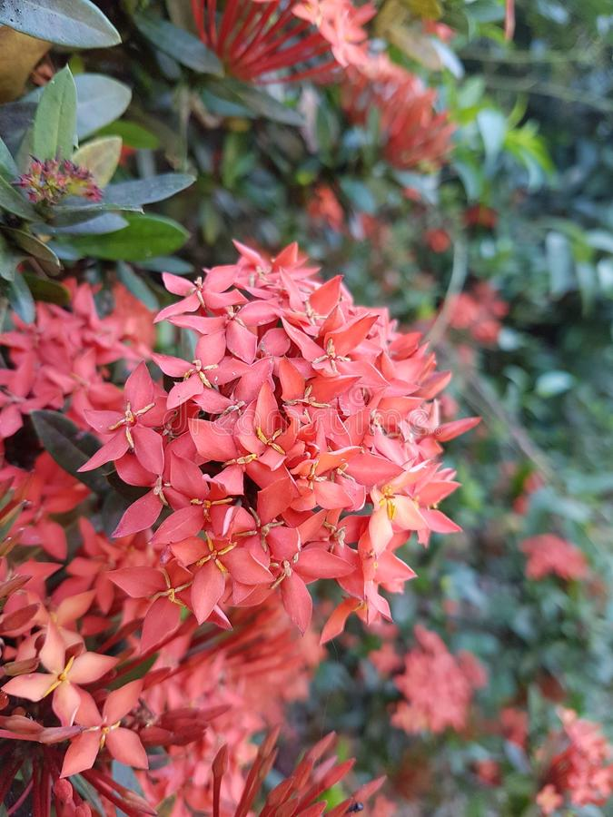 Red Ixora stock images