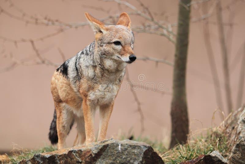 Download Red jackal stock image. Image of hill, animal, jackal - 23072983