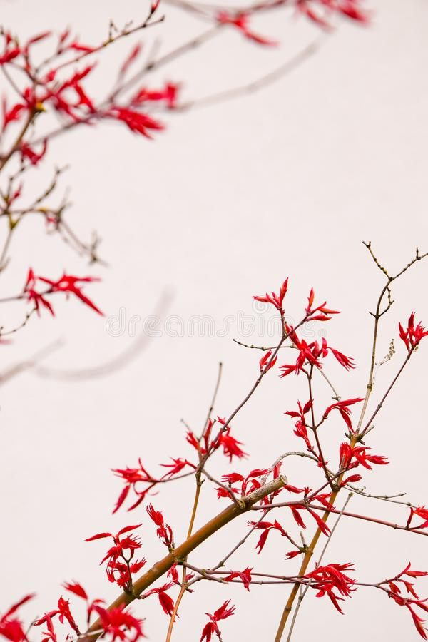 Red japanese acer or maple tree stock photos