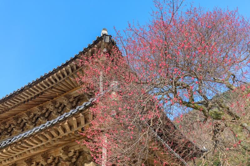 Red Japanese apricot blossoms in Gurye Hwaeomsa Temple. In Jirisan National Park stock images