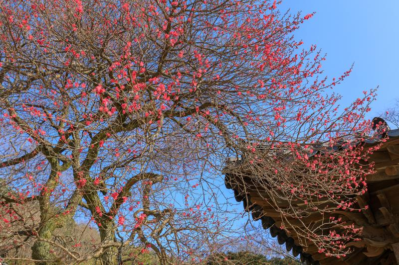 Red Japanese apricot blossoms in Gurye Hwaeomsa Temple. In Jirisan National Park royalty free stock photography