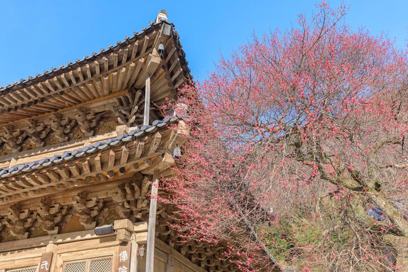 Red Japanese apricot blossoms in Gurye Hwaeomsa Temple. In Jirisan National Park royalty free stock photos