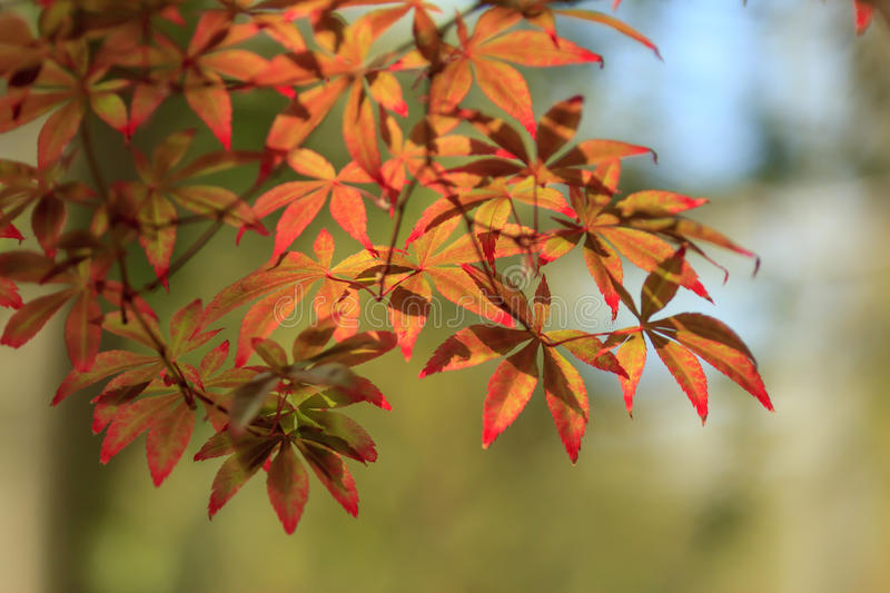 Red Japanese maple royalty free stock photography