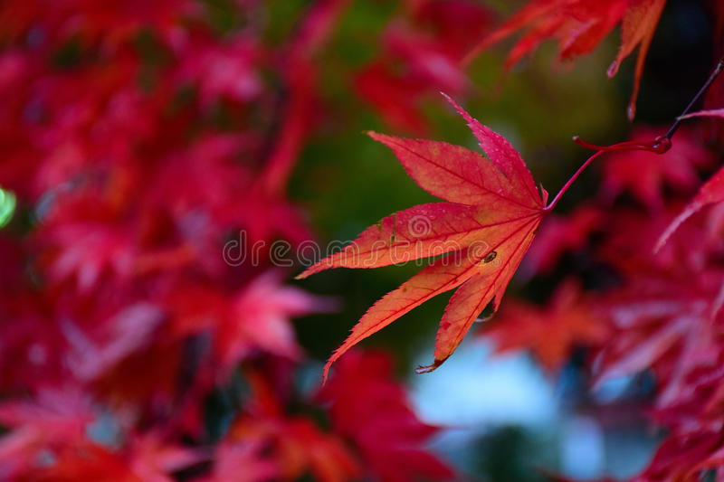 Red Japanese Maple foliage in natural background stock photo