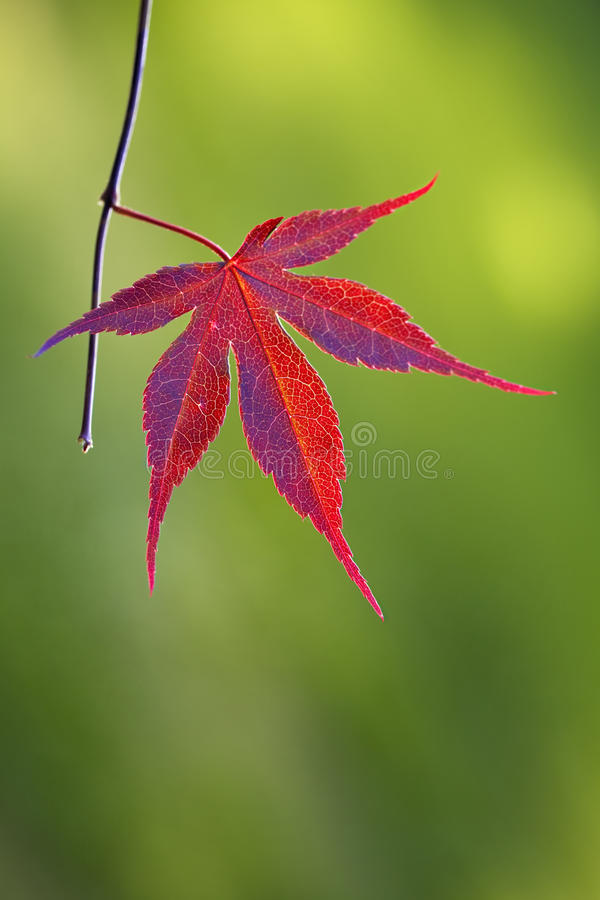 Free Red Japanese Maple Leaf Stock Photo - 14687820