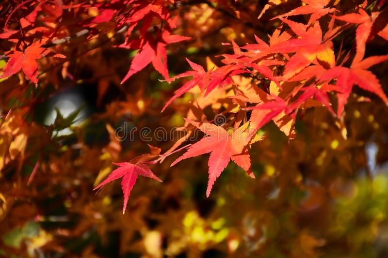 Red Japanese Maple leaves in Autumn with evening light royalty free stock image