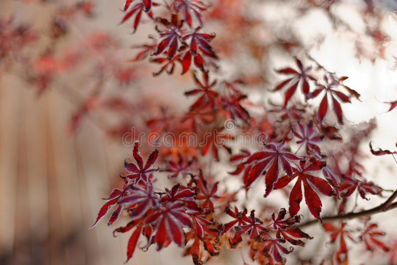 Red Japanese maple leaves stock images