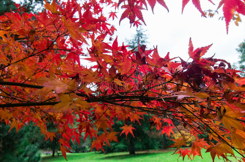 Red Japanese maple leaves in the Dandenong Ranges. Bright red leaves on a Japanese Maple tree at Emerald Lake Park in the Dandenong Ranges, east of Melbourne royalty free stock photo
