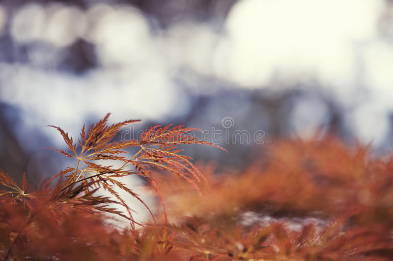 Red japanese maple stock images