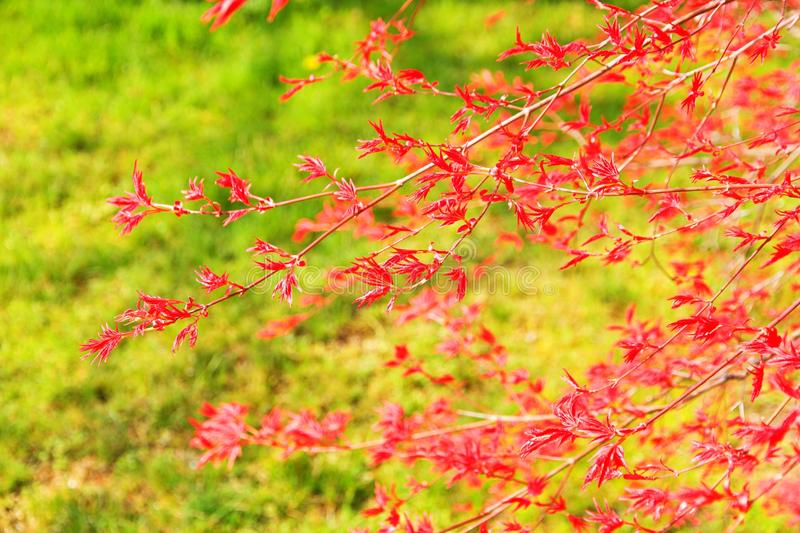 Red japanese maple royalty free stock images