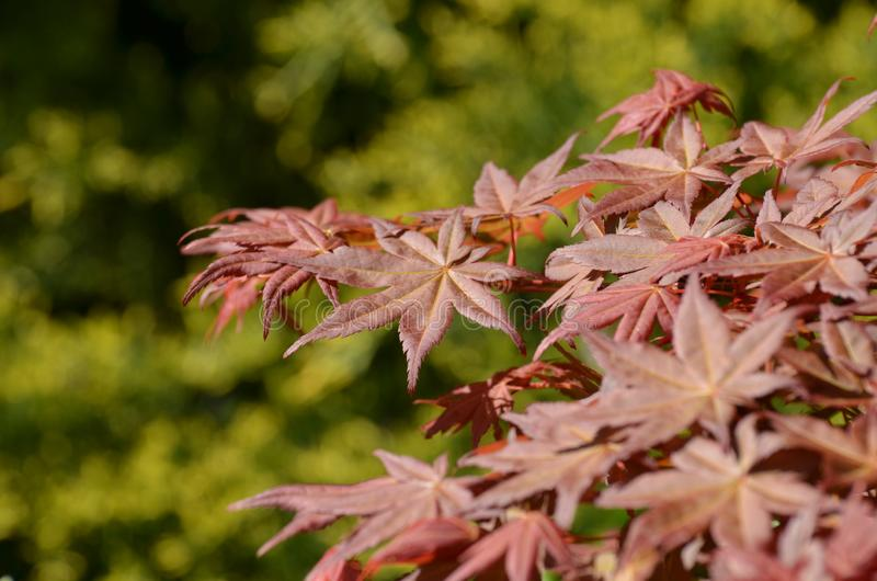 Red Japanese maple leaves in spring stock image