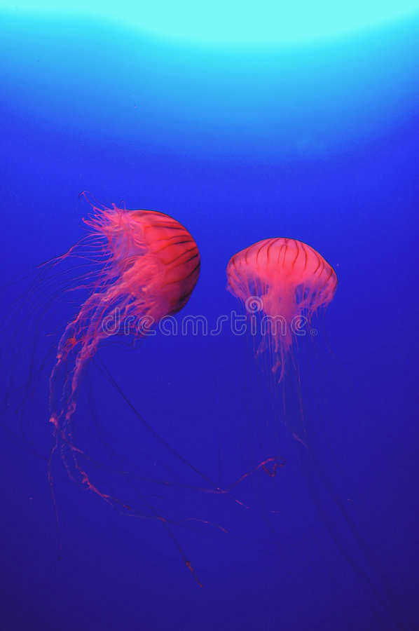 Red jellyfish stock photos