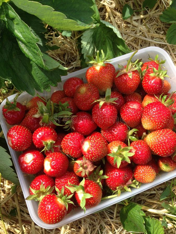 Hand picked strawberrys stock images