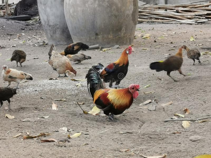 Red jungle fowl, wildlife adap to domestic stock image