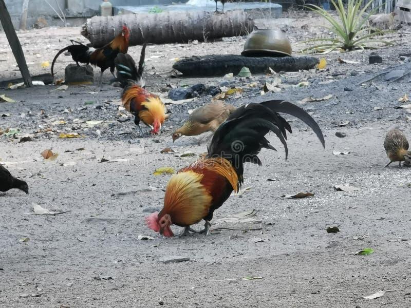 Red jungle fowl, wildlife adap to domestic stock photo
