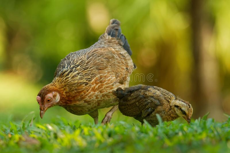 Red Junglefowl - Gallus gallus  tropical bird in the family Phasianidae. It is the primary progenitor of the domestic chicken. Gallus gallus domesticus stock photos