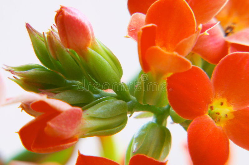 Red kalanchoe stock photos