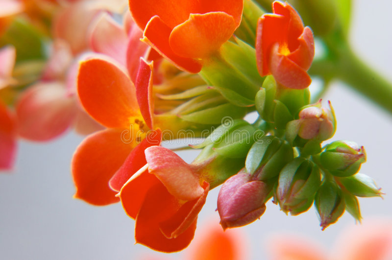 Red kalanchoe royalty free stock photos