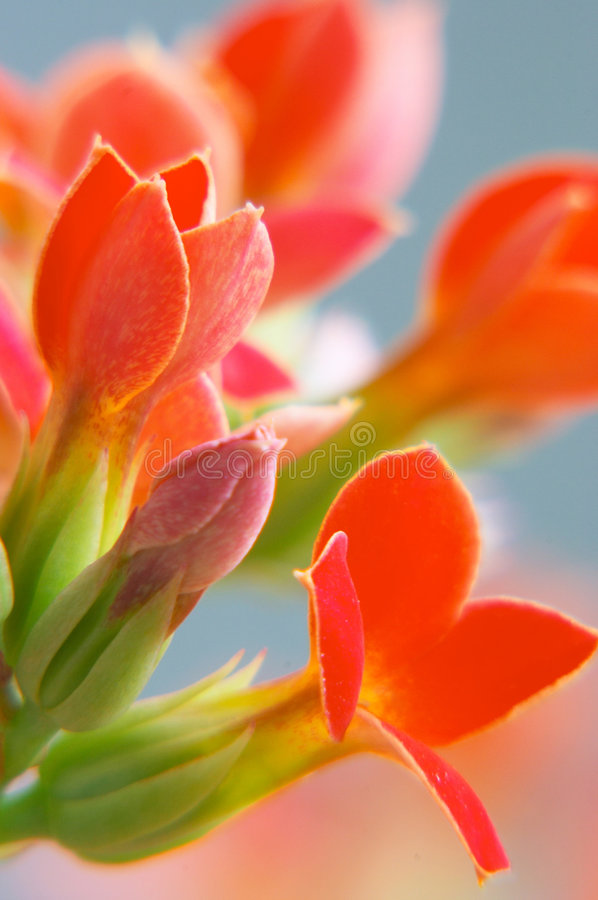 Free Red Kalanchoe Stock Photography - 196162