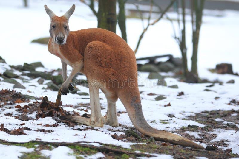 Download Red kangaroo stock photo. Image of winter, animal, marsupial - 29111902