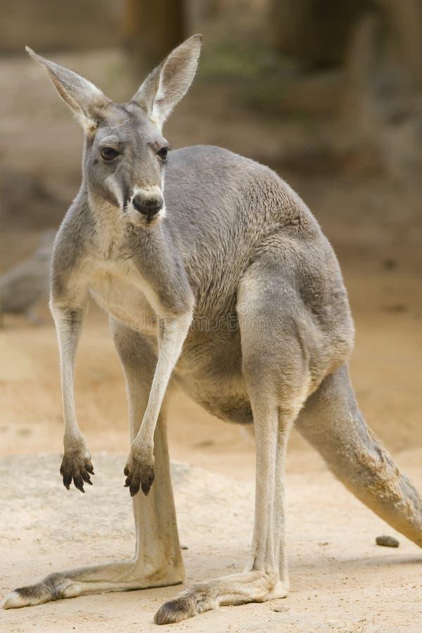 Free Red Kangaroo Stock Photo - 4468810