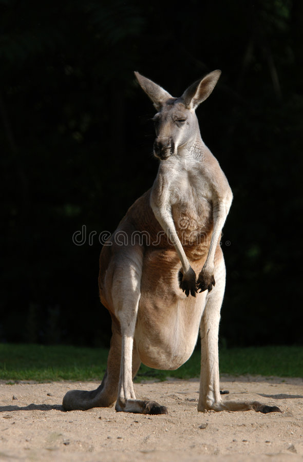 Download Red Kangaroo stock photo. Image of australian, kanga, pouch - 790200