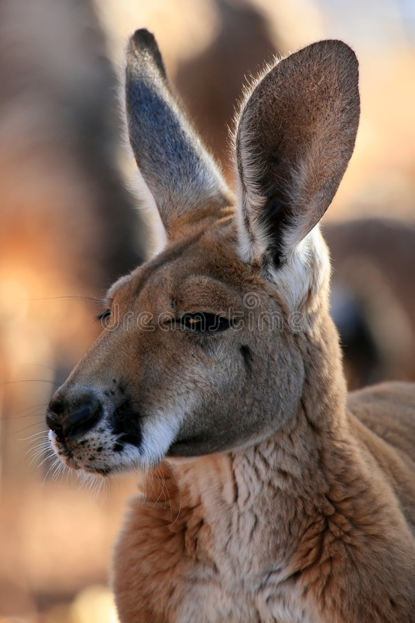 Red Kangaroo, Australia stock photo