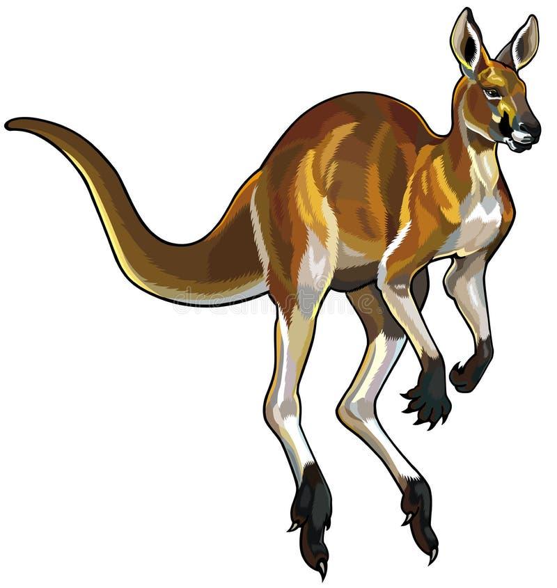 Red kangaroo. In motion illustration isolated on white background stock illustration