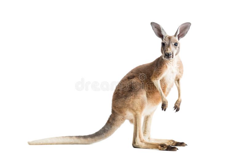 Red Kangaroo on White royalty free stock photo