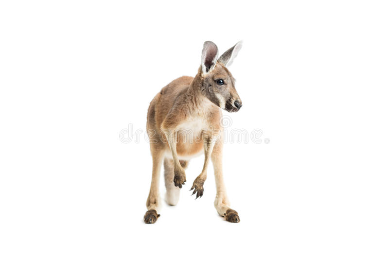 Red Kangaroo on White stock image