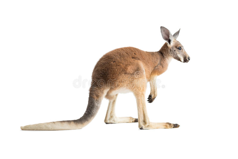 Red Kangaroo on White royalty free stock image
