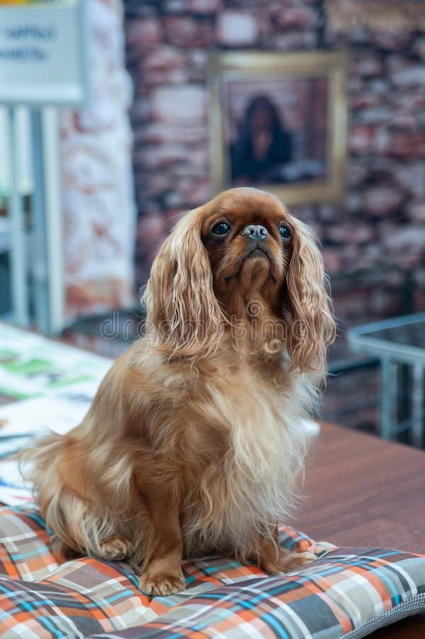 Red king charles spaniel portrait. At a dog show stock images