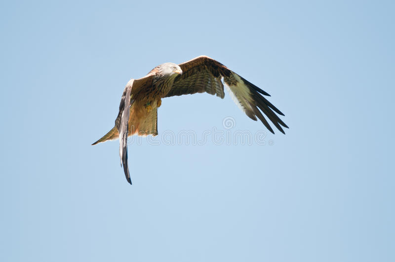 Download Red Kite stock photo. Image of eyes, bird, wild, feathers - 20841296