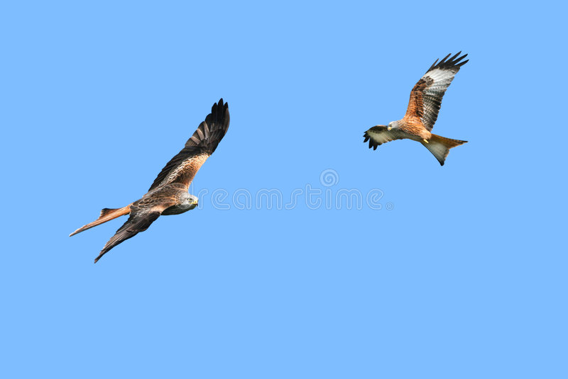 Red Kite Eagles. Two red kite eagles, birds of prey, flying together in a clear blue sky royalty free stock photo