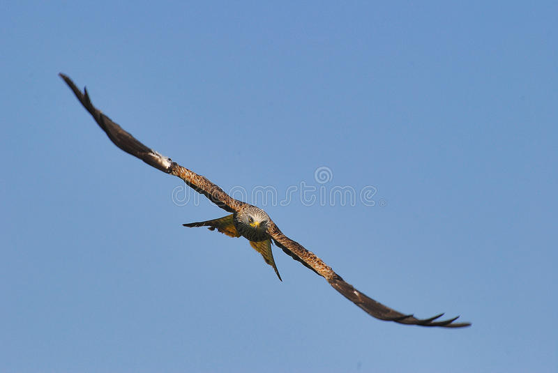 Red kite head on stock photo