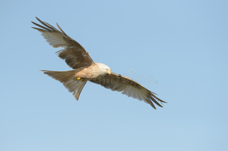 Red Kite - Leucistic Form Stock Photo