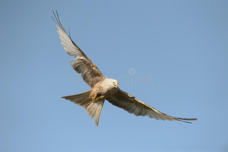 Download Red Kite - Leucistic Form Stock Photo - Image: 38780360