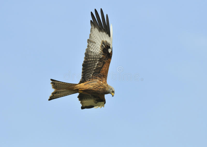 Download Red Kite - Milvus milvus stock image. Image of flight - 14162977
