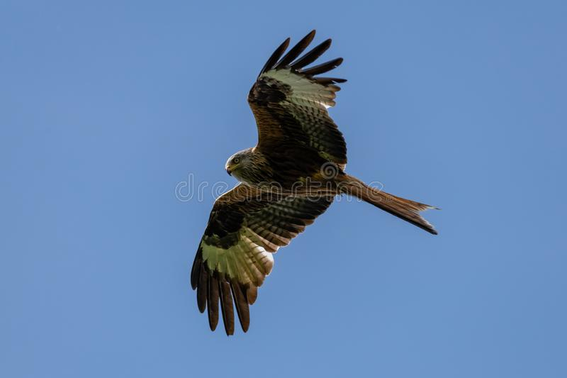 Red kite Milvus milvus bird of prey royalty free stock image
