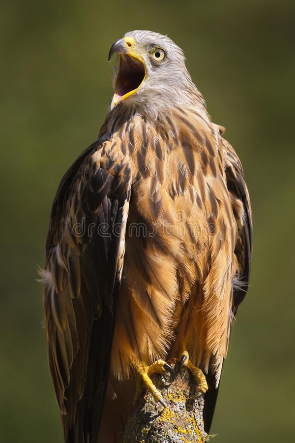 The Red Kite. Milvus milvus raptor portrait.  is a medium-large bird of prey in the family Accipitridae. Taken in Izco Basque Country stock photography