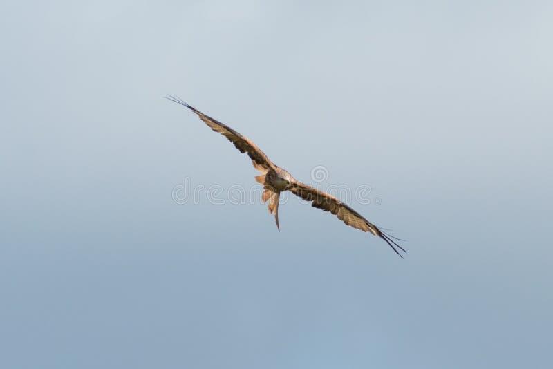 Red Kite stock photos