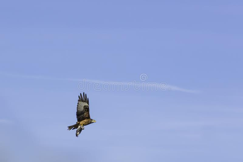 Red kite with prey in claws. Red kite, bird of prey flying away with prey in its claws after successful hunt.Blue sky in background and copy space.Wildlife stock image