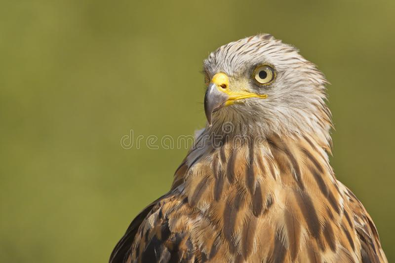 The Red Kite. Milvus milvus raptor portrait.  is a medium-large bird of prey in the family Accipitridae. Taken in Izco Basque Country royalty free stock photo