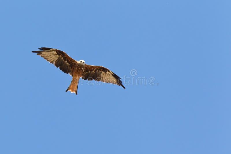 Red kite rode wouw (Milvus milvus stock photos