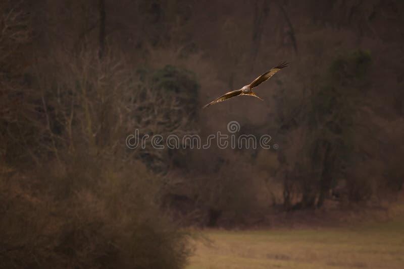Red Kite Soaring stock image